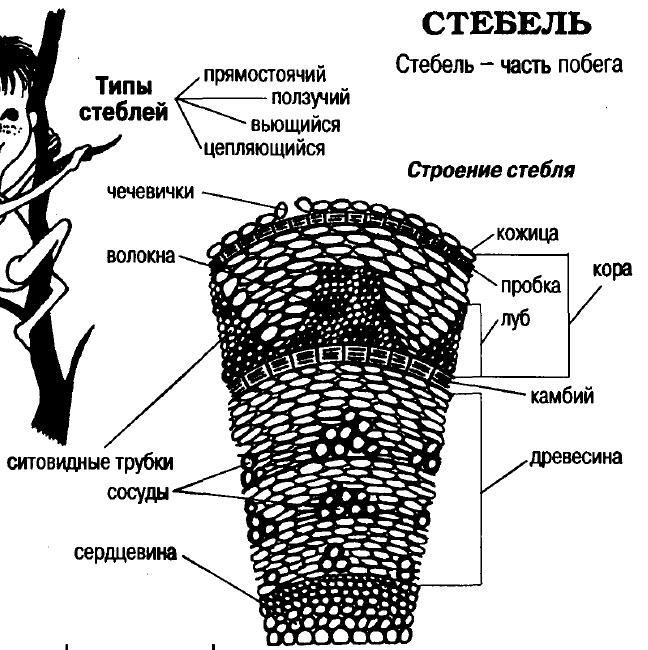 Общее строение лука- что такое луковица, строение луковицы, корневая система лука