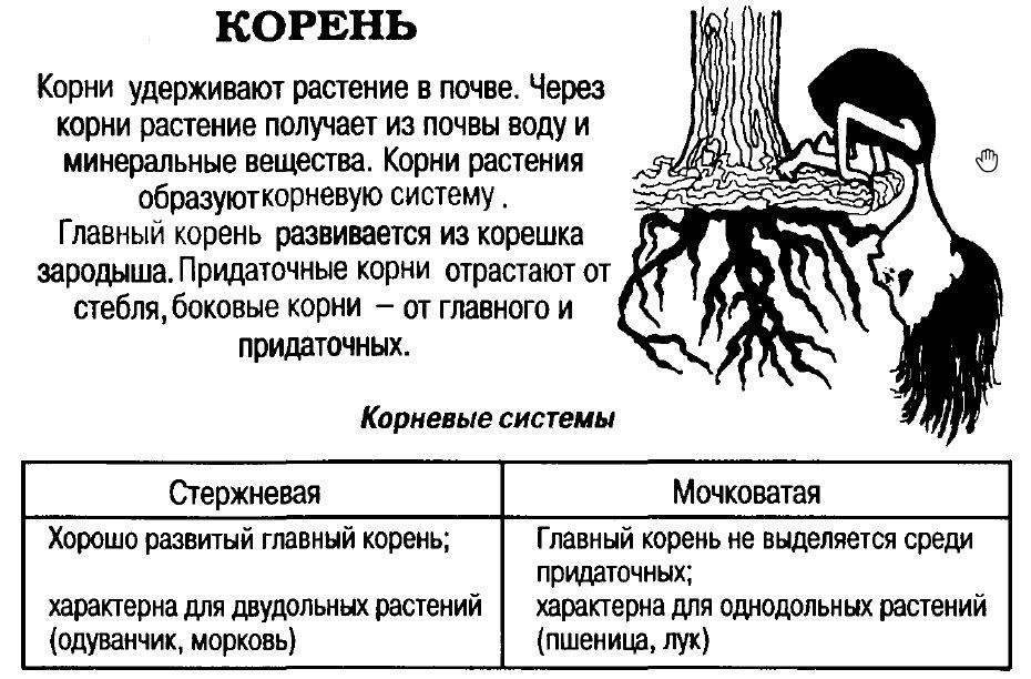 корень