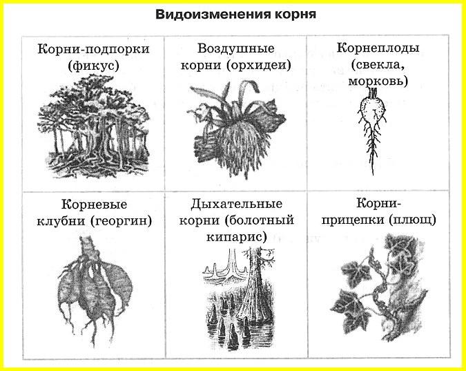 видоизменения корня