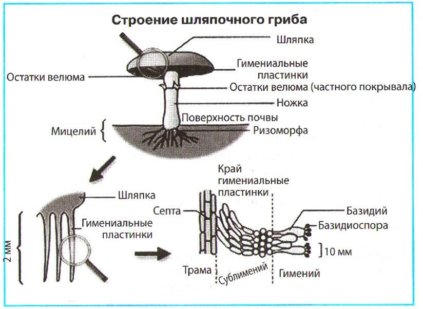 шляпочные грибы строение