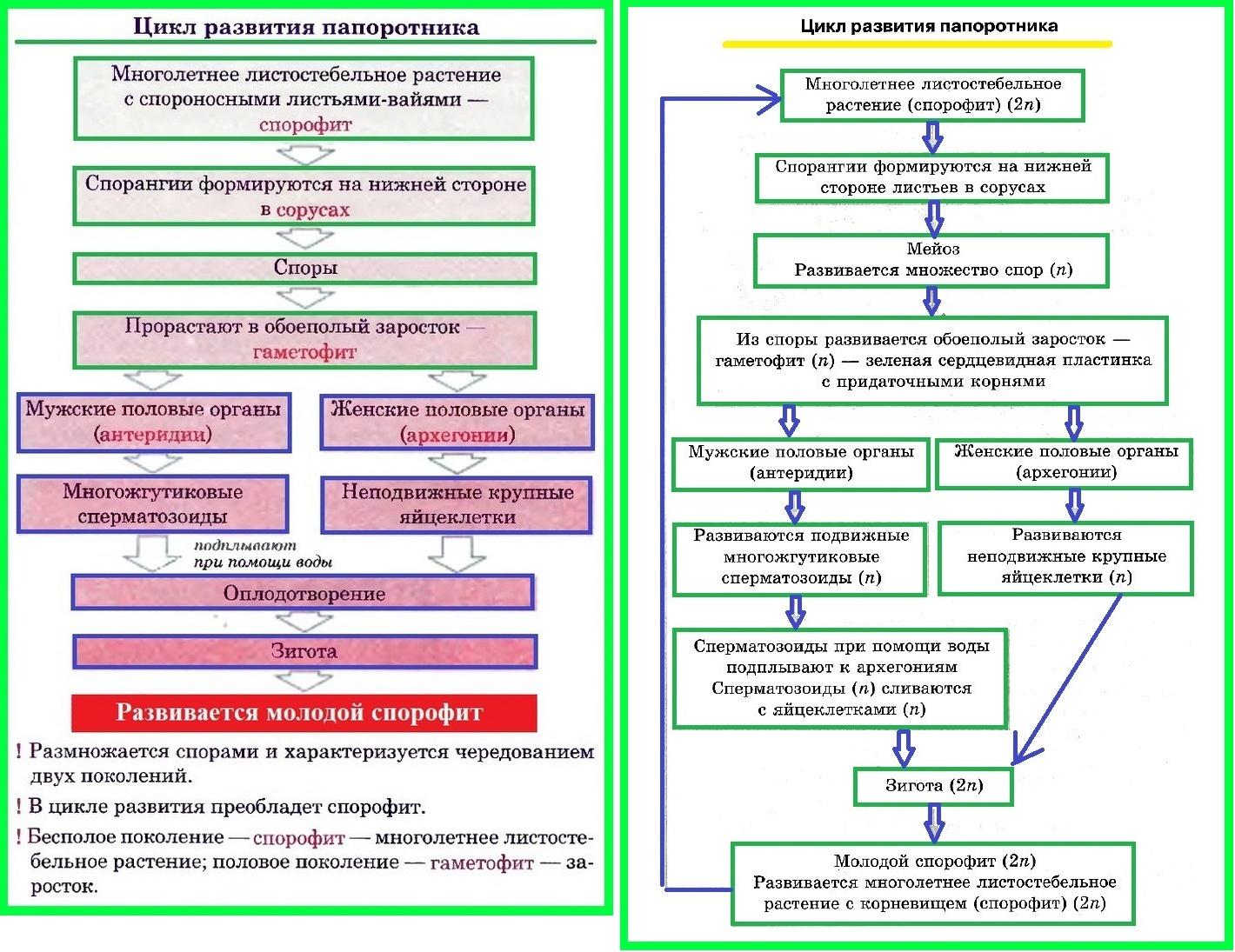 цикл развития папортника
